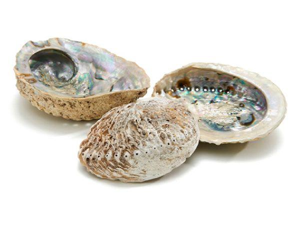 Muschel S.A. Paua NATUR SC3075 12cm Shell Abalone