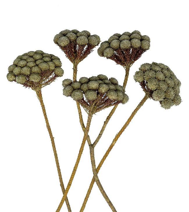 Brunia NATUR 70 Stück Albiflora