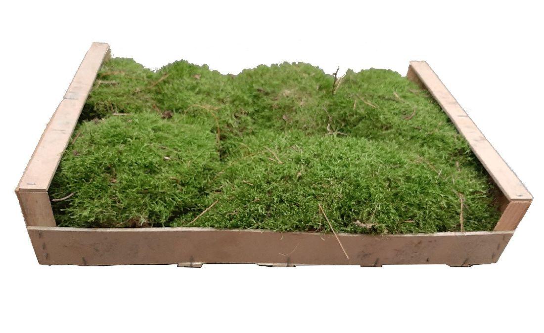 Plattenmoos GRÜN (natur, unbehandelt) Kiste L=60cm x B=40cm x H=13cm