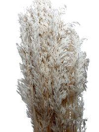 Trockenblumen Ampelodesmos WEISS 6016 400 Gramm / Länge ca. 100 cm